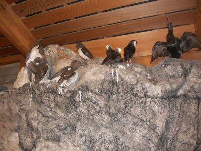 Sea bird display in Bear Valley visitors center at Point Reyes National Seashore