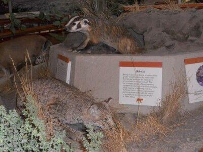 Animal display in Bear Valley Visitors Center at Point Reyes National Seashore