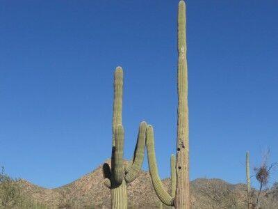Saguaro National Park cactus high five