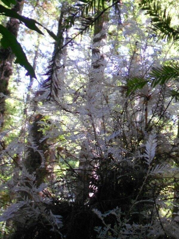 albino redwood tree