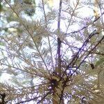 ghost redwood tree