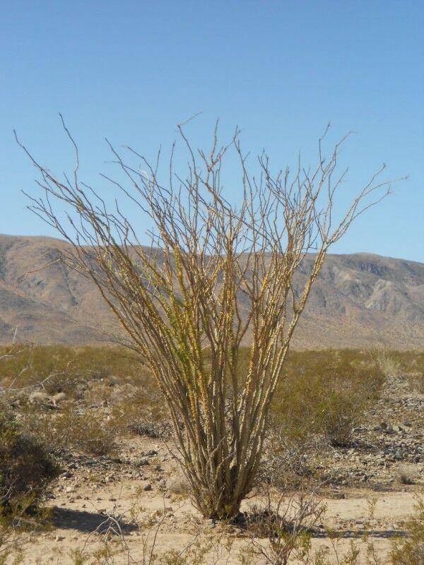 ocotilla shrub