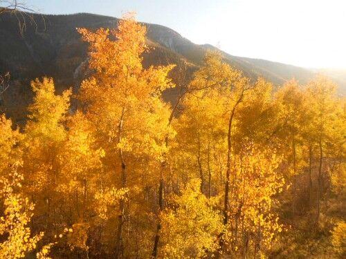amazing aspen trees